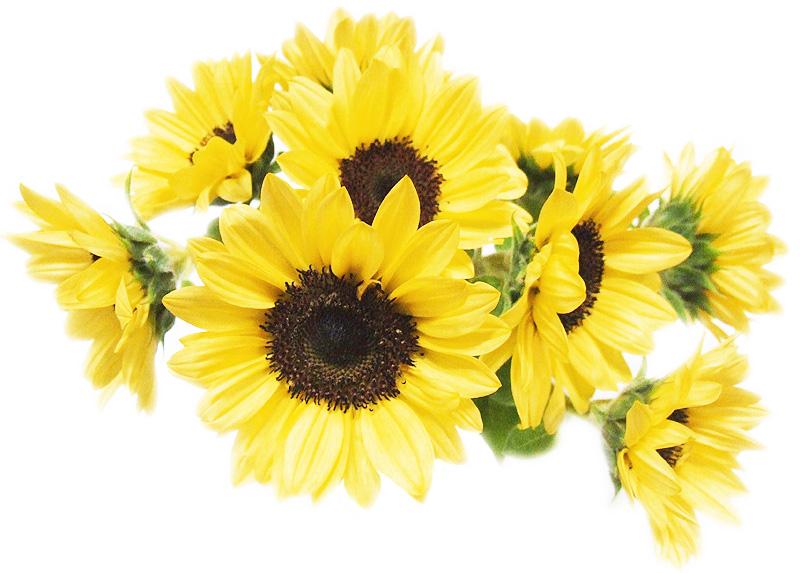 「ひまわり」はキク科の一年草で、一輪の花のように見えて、実は、沢山の花が集まって出来ています。